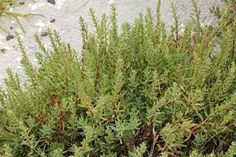 Suaeda australis - Google Search Coastal, Google Search, Plants, Plant, Planets