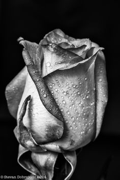 Rose by Stevan Dobrojevic Black And White Roses, Black And White Aesthetic, Pencil Art Drawings, Art Drawings Sketches, Black And White Portraits, Black And White Pictures, Dark Photography, Black And White Photography, Foto Macro