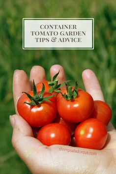 Container Tomato Plant Gardening - Tips, tricks, and advice for growing tomatoes in pots on a patio, porch, or deck.