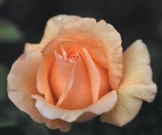 Coming Soon!! Winter Sunset rose.