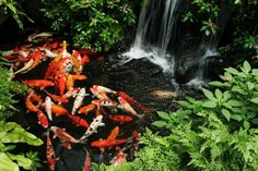 Do you have a koi pond in your garden/backyard or want to build one? Use these maintenance tips to keep the pond and koi fish in it striving. Backyard Water Feature, Ponds Backyard, Backyard Ideas, Garden Ponds, Koi Pond Design, Landscape Design, Pond Construction, Gardens, Gardening