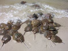 Horseshoe Crab Survey | Delaware Center for the Inland Bays