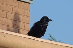 Common Raven ©Steve Frye. Wild Bird Center of Boulder, CO Saturday Morning Bird Walk in Boulder County – June 5, 2014.