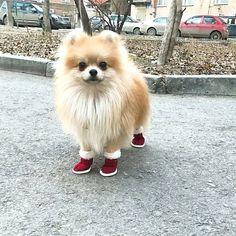 Cute Pomeranian with boots! #Pomeranian #dog #cutedog #pom #fluffydog #boots