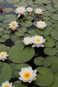 could be my back yard at Mountain Grove Aquatic Plants, White Flowers, Lotus Flowers, Beautiful Flowers, White Lotus Flower, Blue Lotus, Lotus Leaves, Planting Flowers, Lotus Garden