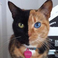 顔の色も半分ずつ違えば、左右の目の色も違う!奇跡のネコちゃんを発見したぞ