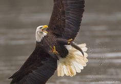 Bald Eagle, photographed in Maryland.  Another Eagle wanted to steal the fish but this eagle did not give it up.