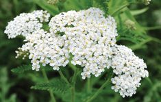 A dwarf Achillea with gorgeous, creamy white flowers that unfurl from yellow buds. Achillea Millefolium, Monstera Deliciosa, Creamy White, Silver Hair, Green Leaves, White Flowers, Weed, Bloom, Herbs