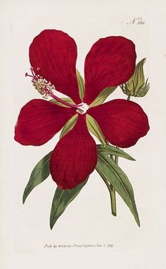 William Curtis Botanical Magazine Antique Prints 1787-1817