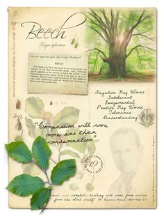 Beech Bach Flower Remedy for intolerance, arrogance and perfectionism. To…