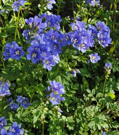 Jacob's Ladder (Polemonium reptans) is beautiful and care-free in this Pennsylvania garden