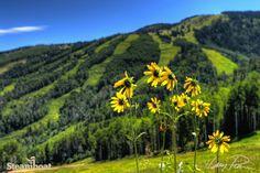 Summer wildflowers at Steamboat Resort in Steamboat Springs, Colorado