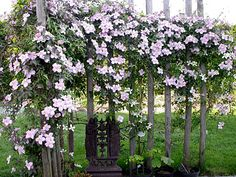 Clematis Montana :-) pretty