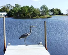 This photo was taken at Mallard Lakes in October, 2009.The heron is surveying 1 of 5 lakes in the community,looking for his dinner.We began vacationing at MLakes in 1996 and returned for summer vacation for 13 years. Our children learned to ride their bikes here, went crabbing off the dock and learned to swim in the 2 pools. In 2009, we purchased a townhome that is now a vacation rental. Mallard Lakes is a family friendly community only 5 minutes from the beach. Come visit…