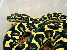 Jungle Carpet Python <3 This is exactly how beautiful Vegeta is <3
