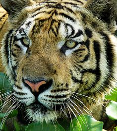 ~~Sumatran Tiger ; i want to see you closer by tropicaLiving - Jessy Eykendorp~~