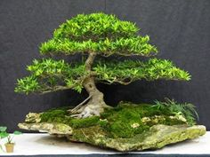 Ficus Bonsai on a Slab