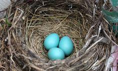 The Beauty and Biology of Egg Color Robin nest by Steve Fisher via Birdshare