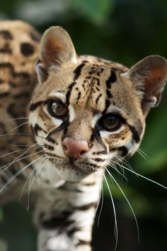 Ocelot - These largely nocturnal cats use keen sight and hearing to hunt rabbits, rodents, iguanas, fish, and frogs.