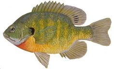 The Bluegill, a panfish of Wisconsin that is popular to fish. A common panfish similar to the Pumpkinseed and Crappie. Gone Fishing, Fishing Tips, Fishing Stuff, Bass Fishing, Fish Art, Saltwater Fishing, Freshwater Fish, Wisconsin, Fish Tattoos