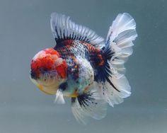 Comet Goldfish, Oranda Goldfish, Goldfish Tank, Tropical Freshwater Fish, Tropical Fish, Freshwater Aquarium, Pretty Fish, Beautiful Fish, Aqua Culture