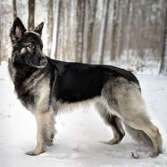 My Pet dog Coach Has The Prettiest Canine I have At any time Observed On My Pet Dog, Pet Dogs, Dogs And Puppies, Dog Cat, Pets, Corgi Puppies, Shiloh Shepherd, German Shepherd Puppies, German Shepherds