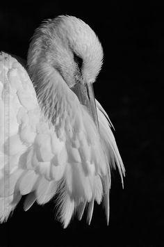 Afbeeldingsresultaat voor stork portrait