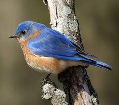 indian animals of eastern blue bird pictures Pretty Birds, Beautiful Birds, Missouri Birds, State Birds, Bird Wings, Kinds Of Birds, Bird Pictures, Birds Photos, Beaver Pictures