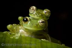 Emeral glass frogs (Espadarana prosoblepon) #frog #amphibian #nature