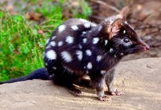 "QUOLL....found in the forests of Australia and New Guinea....also called the ""native cat""....evolved around 15 million years ago....a length of 14 and 29.5 inches long....a weight of 3 to 15 pounds....only live 2 to 5 years....related to the Tazmanian devil"