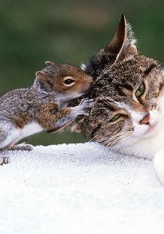 cross-species companions - Unlikely animal friendships - unexpected animal allies, some surprising friendships ★♥★ Chestnut the squirrel always gave his cat friend Sugar a head rub after a stressful day. #Animaux beaute vie