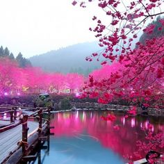 Cherry Blossom Lake In Japan