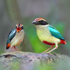 Indian Pitta (Pitta brachyura) is a medium sized passerine Bird found in India, Pakistan and Nepal Big Bird, Small Birds, Little Birds, Colorful Birds, Exotic Birds, Beautiful Rose Flowers, Beautiful Birds, Kinds Of Birds, Love Birds