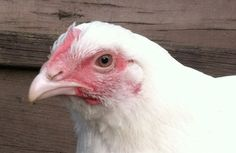 Our well-researched fact sheet on chickens bred for meat is intended as a snapshot of the most common conditions and practices in modern poultry farming. It serves as an ideal introduction to those who have little prior knowledge of the subject as well as a go-to page for animal advocates who need a concise educational resource for use with the general public.