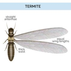 Let's face it: discovering that you have termites can be a distressing experience indeed. However, there are a variety of effective ways to prevent and treat termite infestations. When it comes to treating low scale infestations, for Types Of Termites, Drywood Termites, Termite Pest Control, Diy Pest Control, Garden Solutions, Natural Homes, Citrus Oil