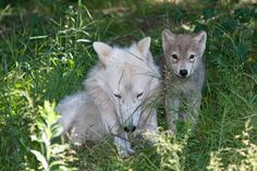 """She's not """"lone"""" if she has a pup! Beautiful Wolves, Animals Beautiful, Cute Animals, Wolf Husky, Wolf Pup, Cute Animal Photos, Animal Pictures, Of Wolf And Man, Wolf Life"""