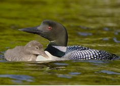 Widespread and fairly abundant in winter, Common Loons frequent all coastal waters. Watch for them floating, diving, and snorkeling in salt water and fresh water. They are usually the biggest seabird out there, making them easy to spot. #MustSeeBirds