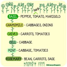 Companion planting - Herb edition