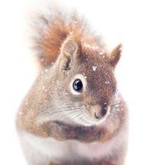 Red Squirrel in Snow - fine art photography print by Allison Trentelman   rockytopstudio.com