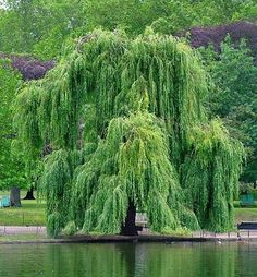 In this article, I will be showing you how to make a crude form of aspirin from the bark of a willow tree. It is a great remedy for headaches, hangovers, and other minor pain. The use of the willow tree as a mild pain reliever goes back to the Native Americans, who used it in much the same way that I do.