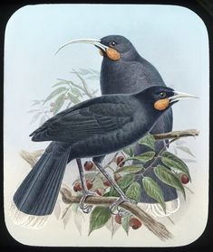 TIL of the huia bird. It went extinct in 1907 and its call was never recorded but it exists today because an elderly Maori man imitated in 1949 from memories of his childhood. Bird Drawings, Drawing Birds, Nz History, Leg Tattoos, Bird Tattoos, Bird Prints, Videos Funny, New Zealand, Photographs