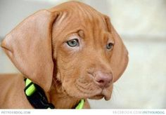 Hungarian Vizsla this is the dog we want next they are so cute and sweet. They need lots of exercise which will be a good thing for the whole family...