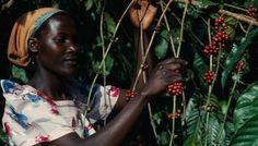 Изменение мирового климата угрожает дефицитом кофе | Head News
