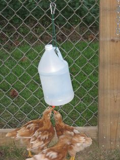 Homemade chicken waterer reservoirs- clean water with chicken nipples! (I love saying chicken nipples! Haha)