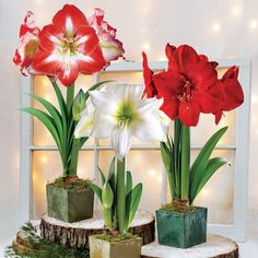Grand Trumpet® Ultimate Amaryllis Gift - Set of 3 The Attractive Square Containers are Made from Recycled Material. Gift includes Minerva, Athene, and Red Lion! The ideal gift to dress up a loved one's holiday home, these Amaryllis are all pre-planted in attractive square cachepots that are made from recycled materials and given a frosted, weathered appearance.