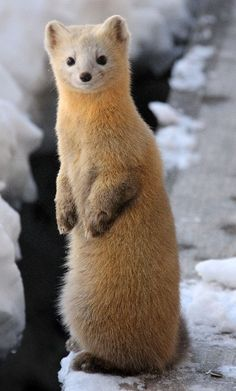 The sable (Martes zibellina) is a species of marten Happy Animals, Nature Animals, Animals And Pets, Cute Animals, Hamsters, Cute Ferrets, Amazing Animals, Animals Beautiful, Animal Species