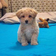 Poochon 9 weeks old Mans Best Friend, Best Friends, Poochon Puppies, Puppy Love, Cute Puppies, Cute Animals, Weddings, Detail, Pets