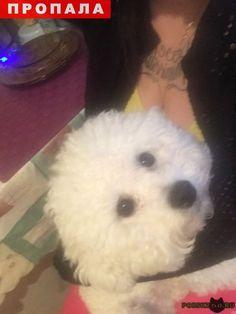 Пропала собака кобель белый пудель г.Пермь http://poiskzoo.ru/board/read32138.html  POISKZOO.RU/32138 ВНИМАНИЕ! ВНИМАНИЕ! ВНИМАНИЕ! прочитайте пожалуйста Максимальный репост, друзья! у меня пропала моя любимая собака породы Бишон Фризе. Собака пропала в Перми около Кита, на Крупской .. а Он не кусается, но очень боится незнакомых людей, и убегает ото всех. Собака очень редкая и в Перми таких единицы. Поэтому, если вдруг увидите что с собакой кто то гуляет, пожалуйста, попросите номер…