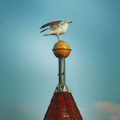 Majestätische Möwe auf dem Dach erwischt. Royal Seagull on the rooftop. . Sony Alpha 230 . #möwe #gull #seagull #mewa #birds #bird #animals #maritim #maritime #tier #tierfotografie #photography #photo #vogel #vögel #fotografie #ptak #kiel