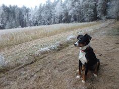 Appenzeller Timmy Dogs, Animals, Nature, Animales, Animaux, Doggies, Animal, Animais, Dieren